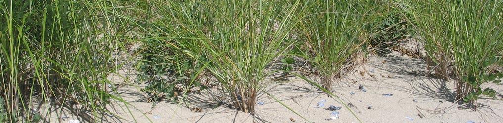 Sand dune grass